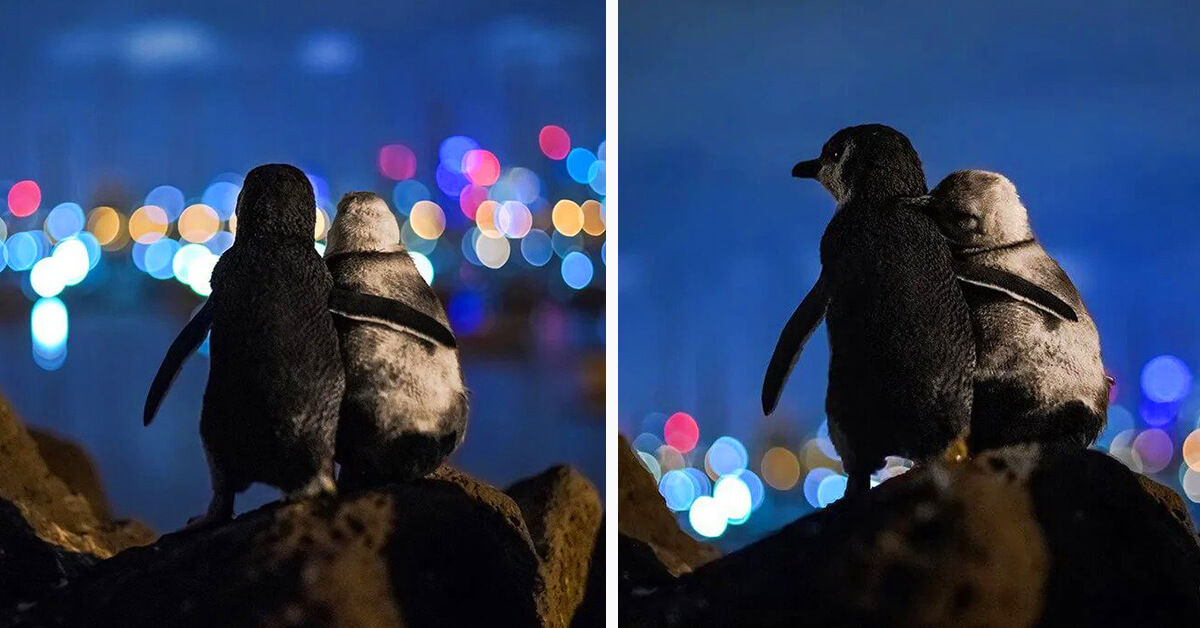 Photographer Shares Video Of The Two Widowed Penguins That Won Our Hearts